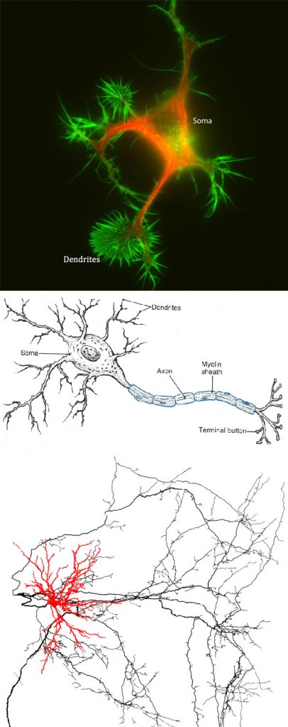 3 views of the neuron